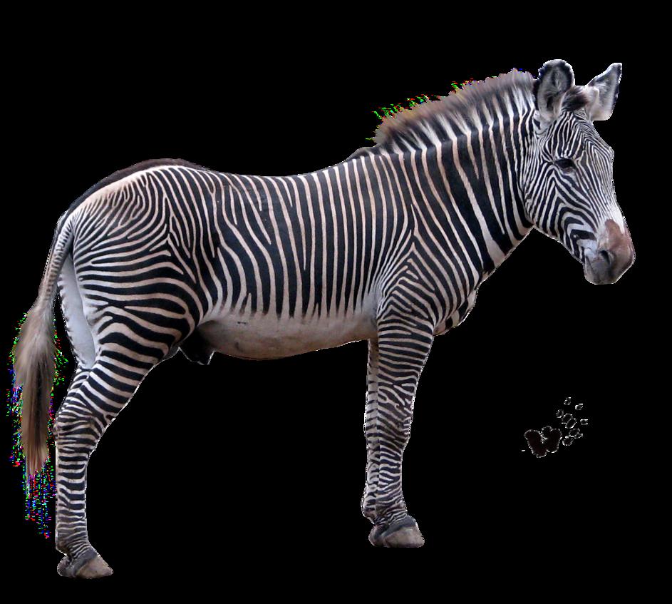 Png transparent images all. Clipart zebra zebra eating grass
