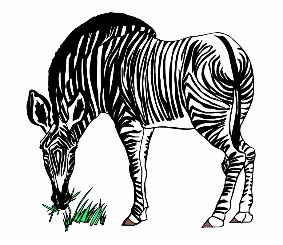 Tiger transparent png download. Clipart zebra zebra eating grass
