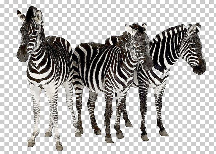 Clipart zebra zebra herd. Horses cheetah hair by