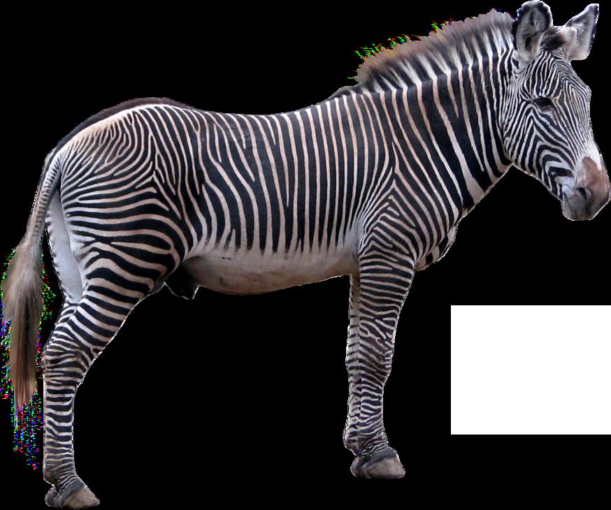 Clipart zebra zebra herd. Png images free download