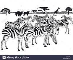 Clipart zebra zebra herd. Of zebras google search