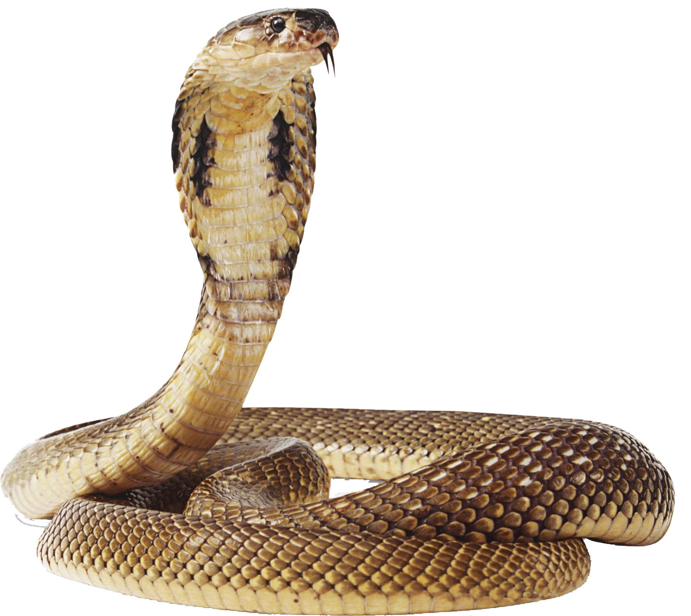 Cobra clipart coiled snake. Image result for snakes