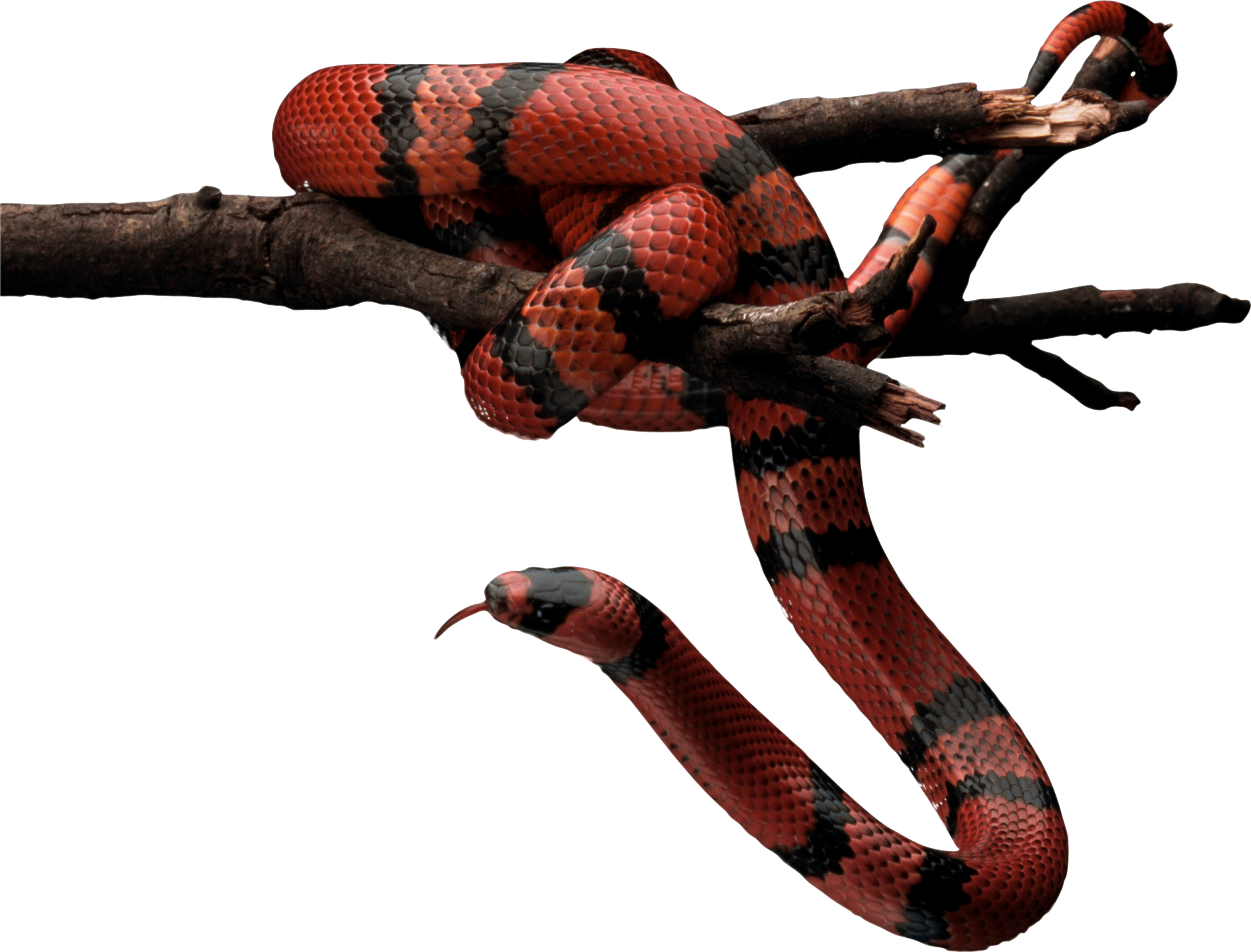 Snake cliparts free download. Cobra clipart realistic
