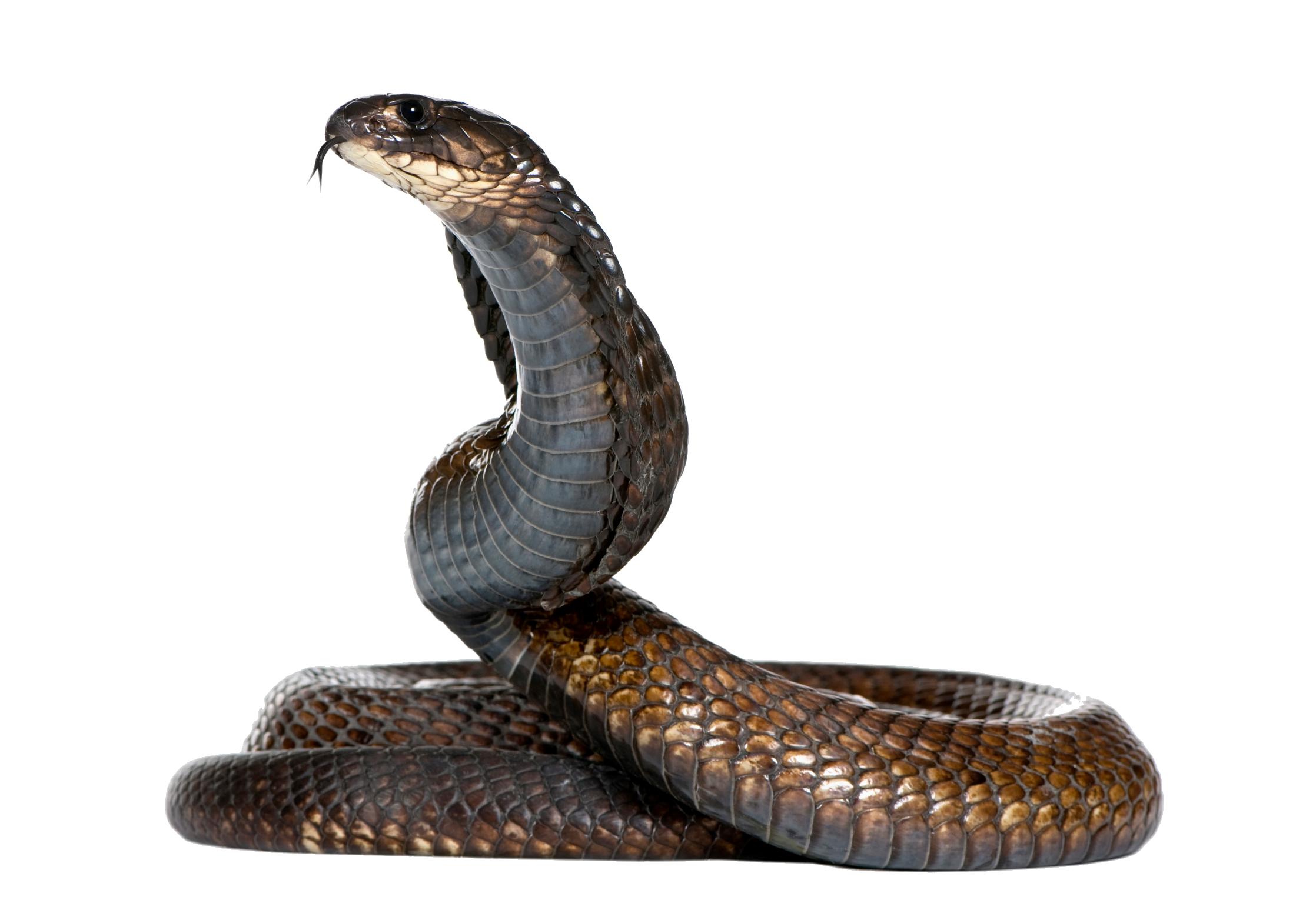 Png cobras pinterest zoos. Snake clipart tiger snake
