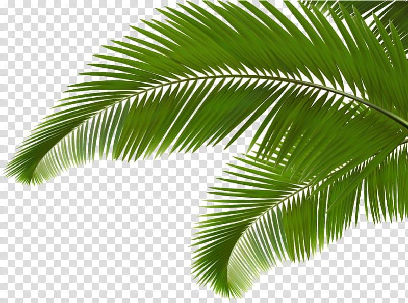 Coconut clipart branch. Palm arecaceae leaf frond