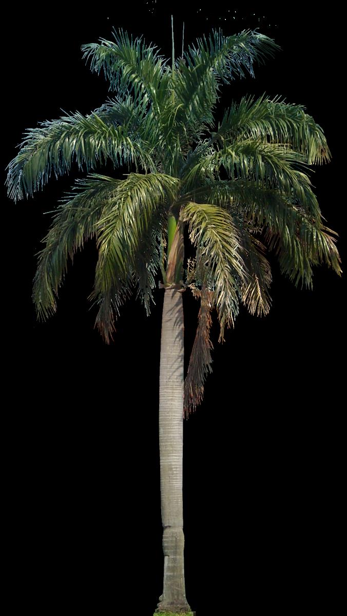 Png file transparentpng . Desert clipart palm tree desert