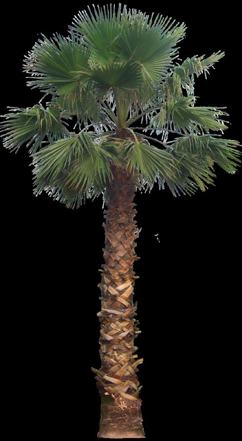 tree png images. Desert clipart desert plant