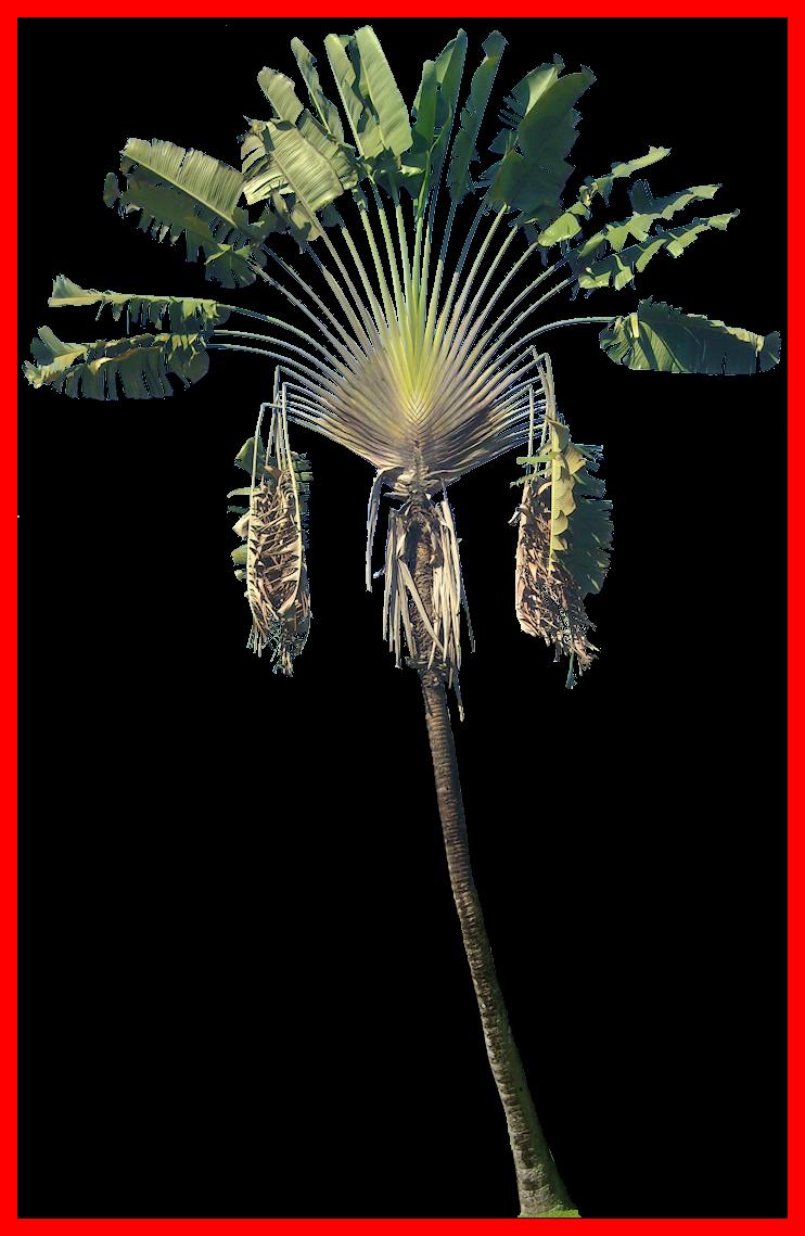 Coconut clipart kawaii. Incredible ravenala png tree