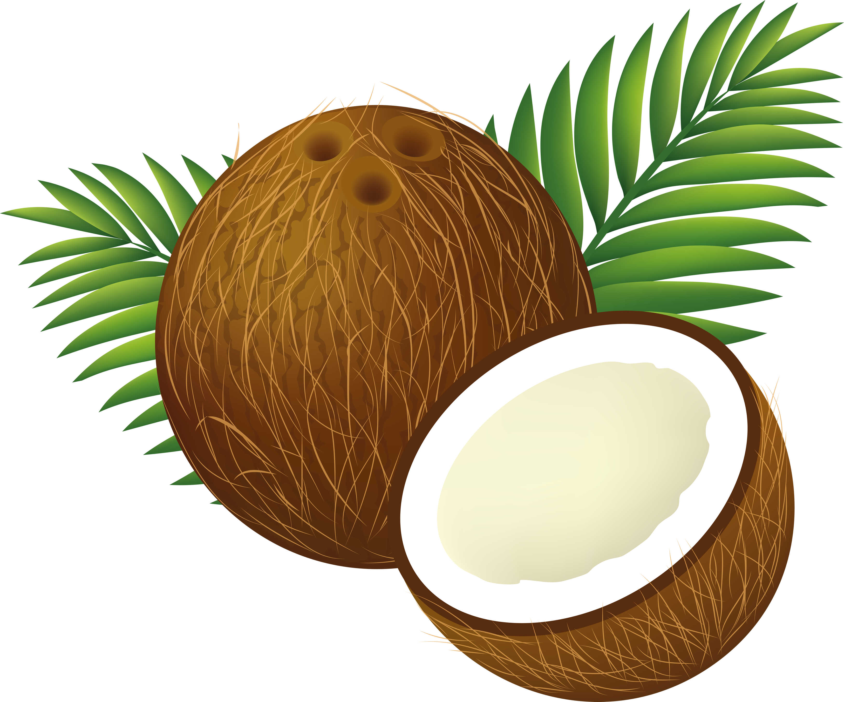 Coconut nariyal free on. Evidence clipart reasonable