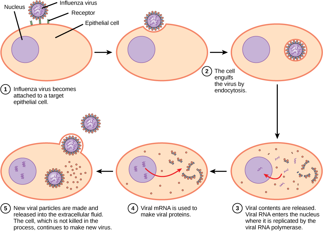 Disease clipart antiviral. Chapter the immune system