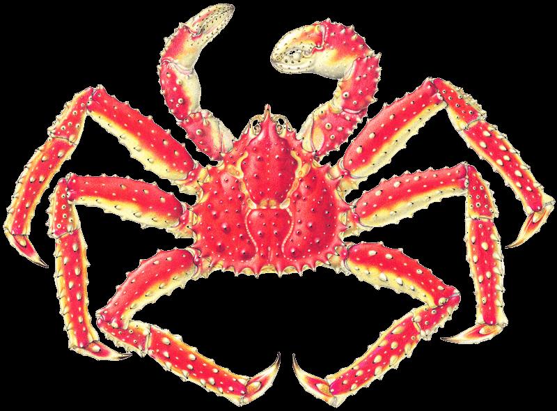 Crabs clipart top view. King crab drawing at