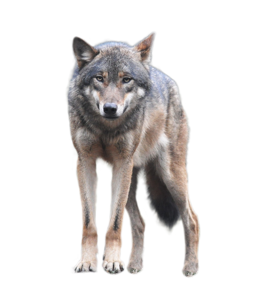 Wolf transparent background png. Wolves clipart standing