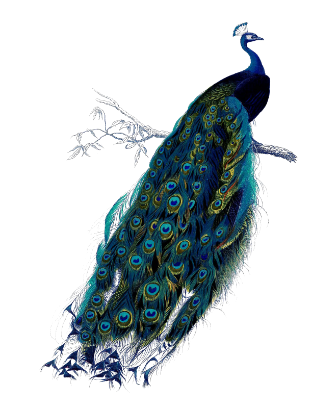peacock clipart couple