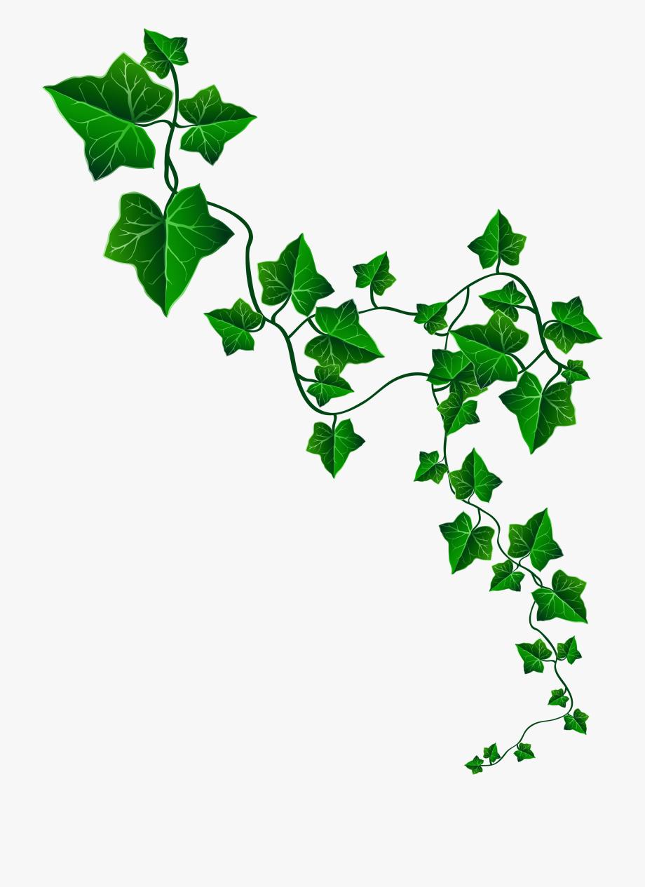 Vines clipart poison ivy. Vine decoration png image