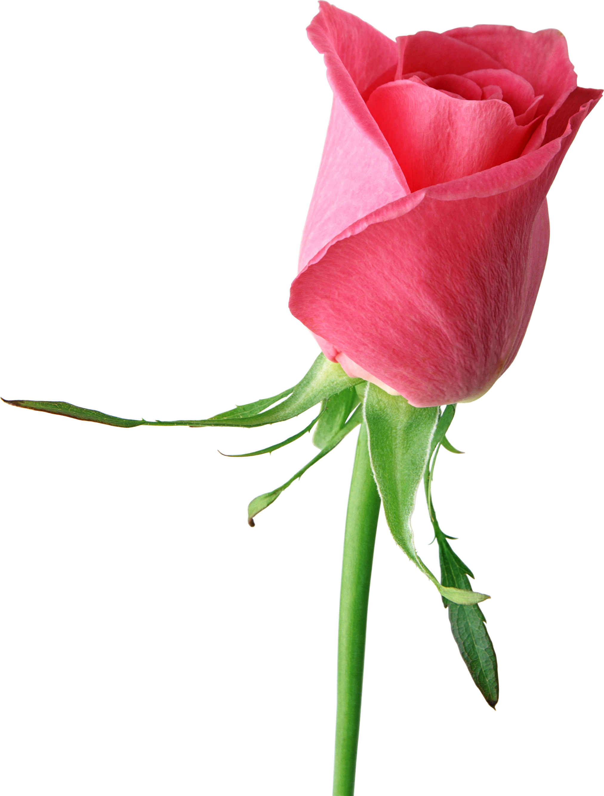 Single flower png. Pink rose large clipart