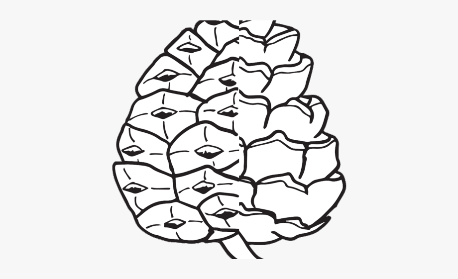 Pinecone pine simple free. Cone clipart drawing