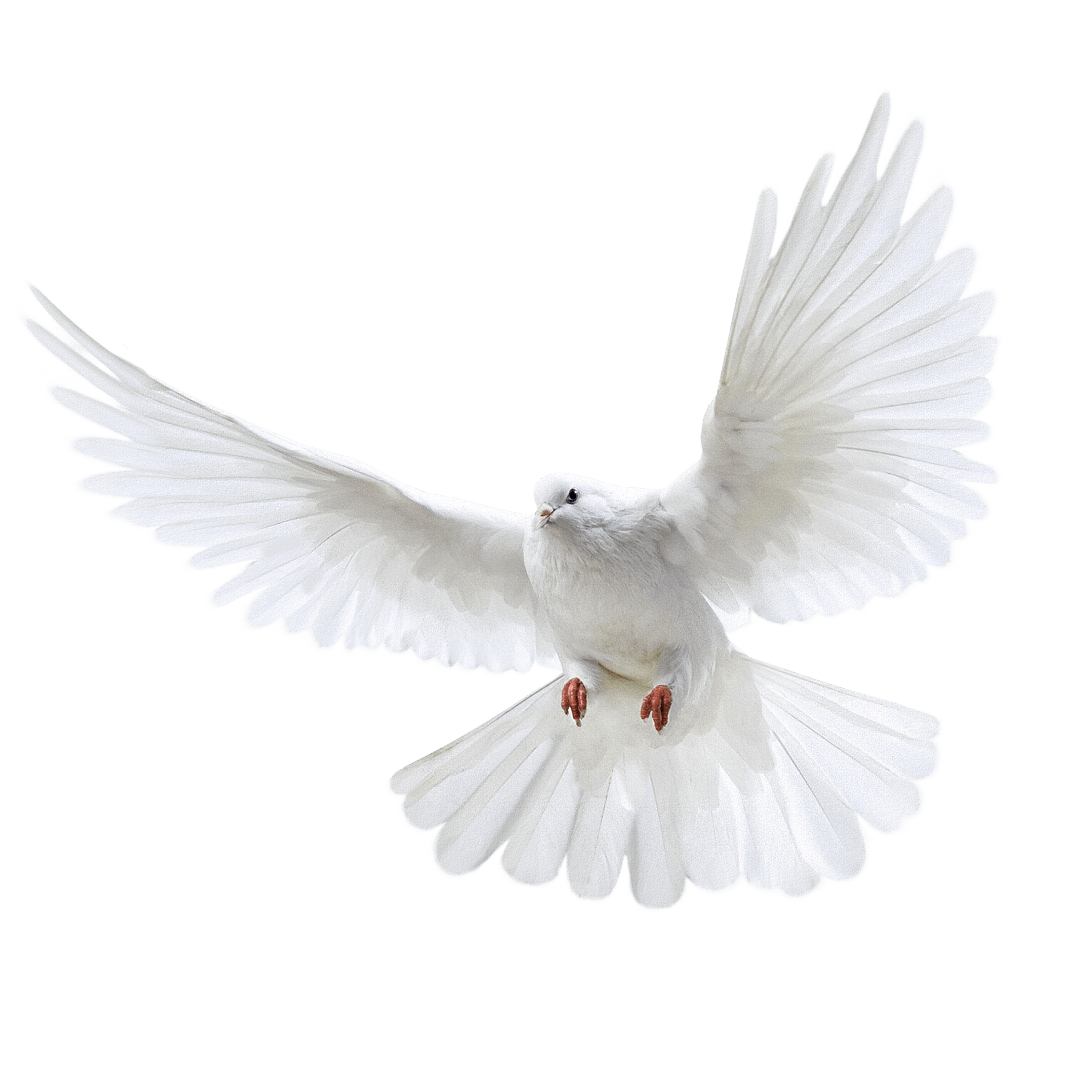 Dove clipart watercolor. White flying pigeon png
