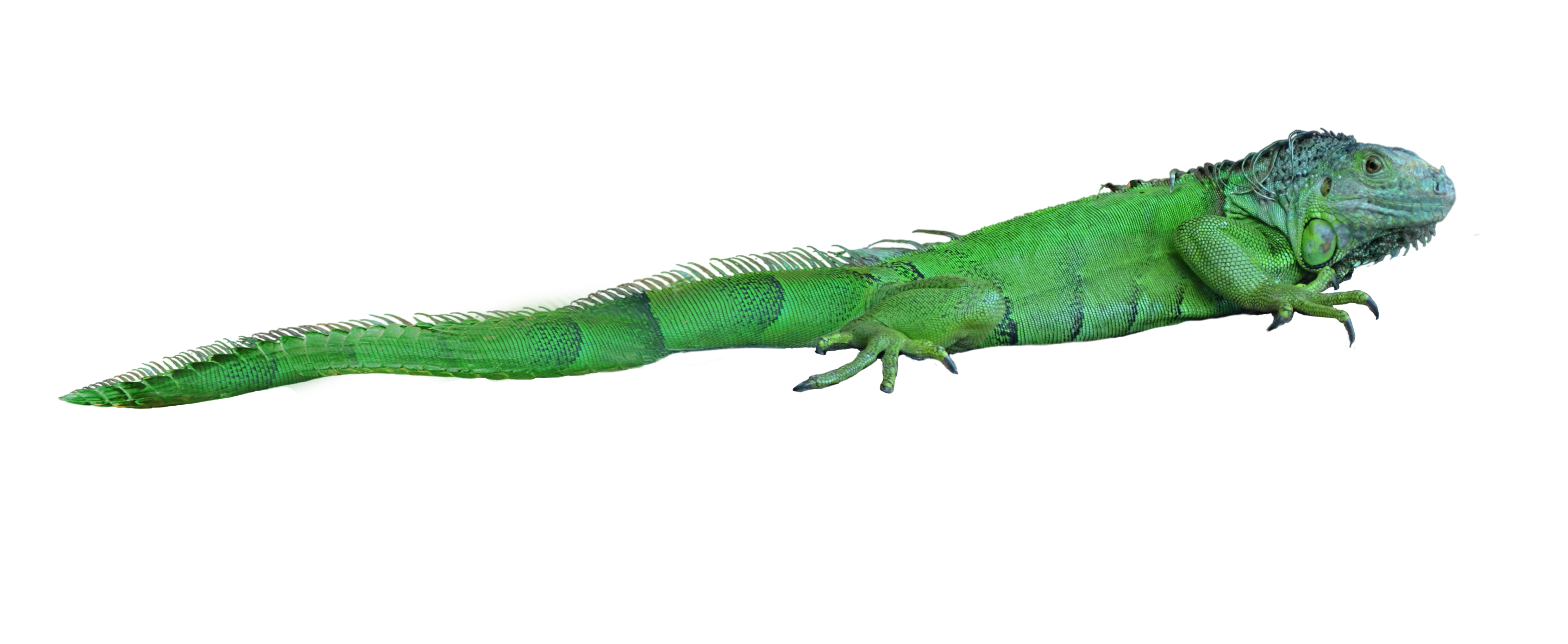 Png images free download. Lizard clipart iguana