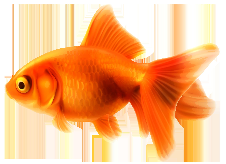 Goldfish clipart fish head. Png best web backsplash