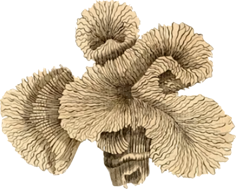 Coral coral polyp