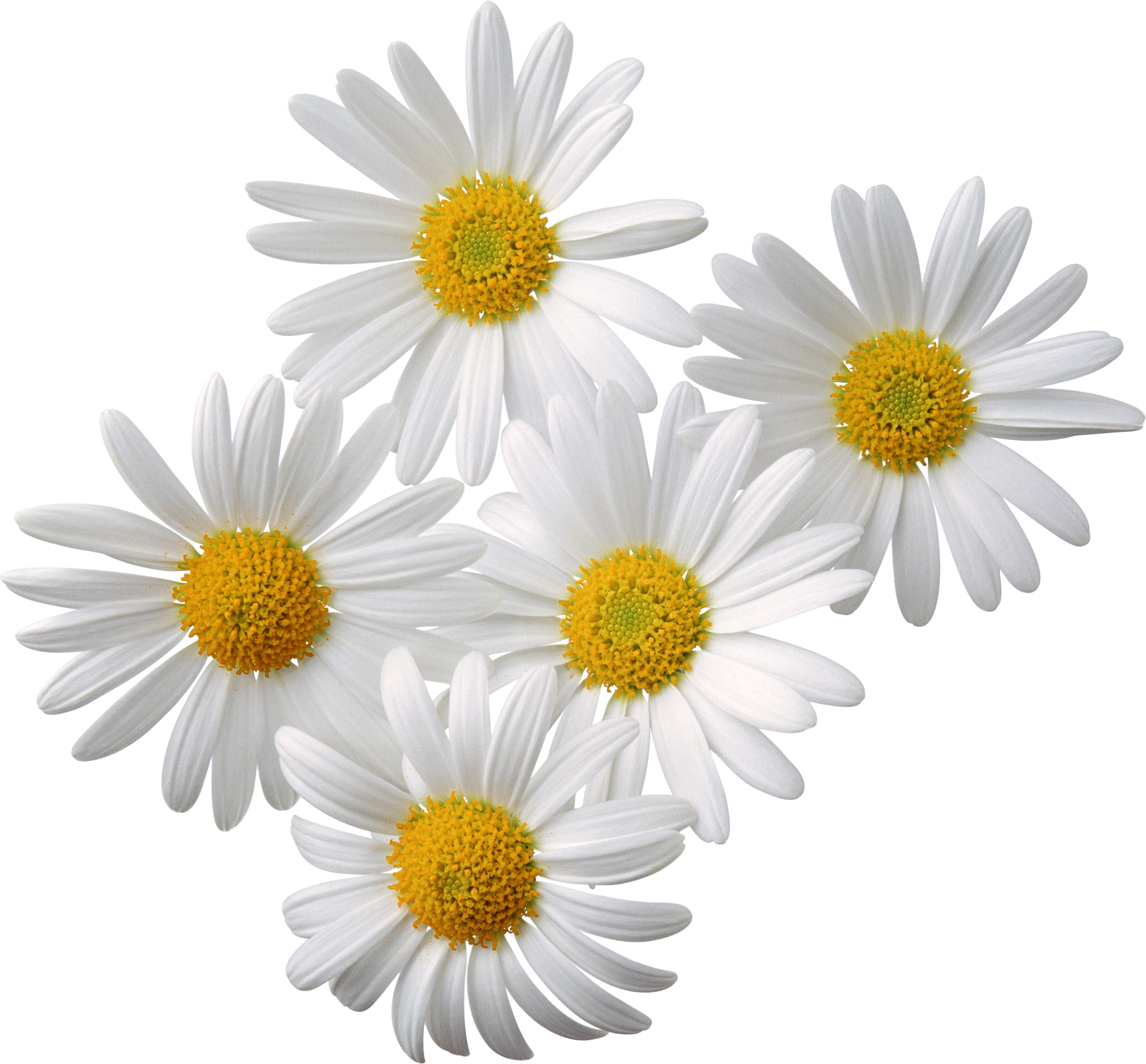 Camomiles png image free. Daisies clipart spring season