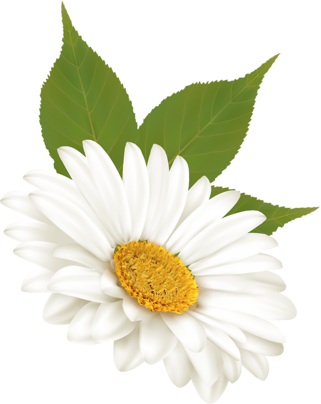 Daisies clipart june flower, Daisies june flower Transparent FREE for  download on WebStockReview 2021