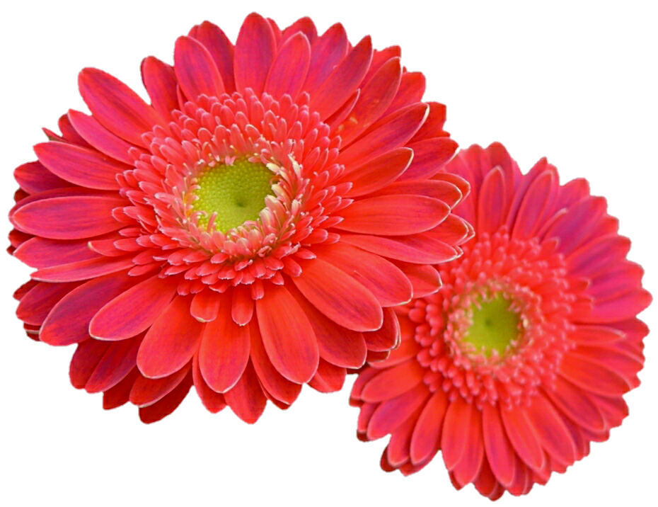 Daisies colorful daisy