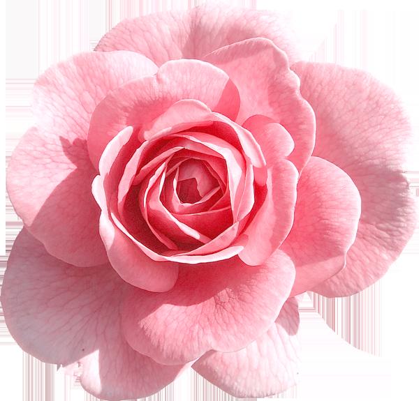 Rose images baptism pinterest. Tumblr flower png