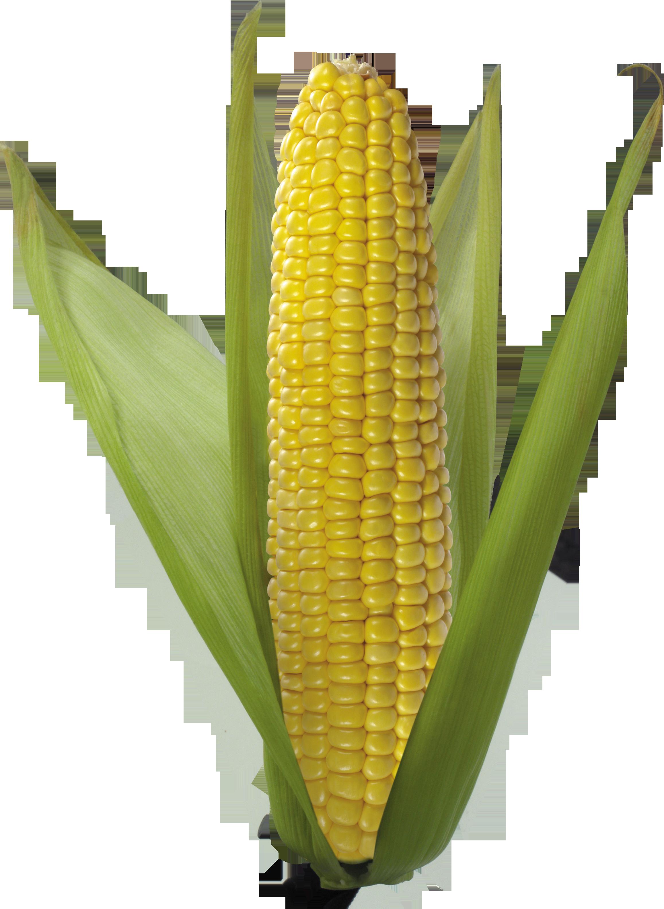 White background images all. Grains clipart corn grain