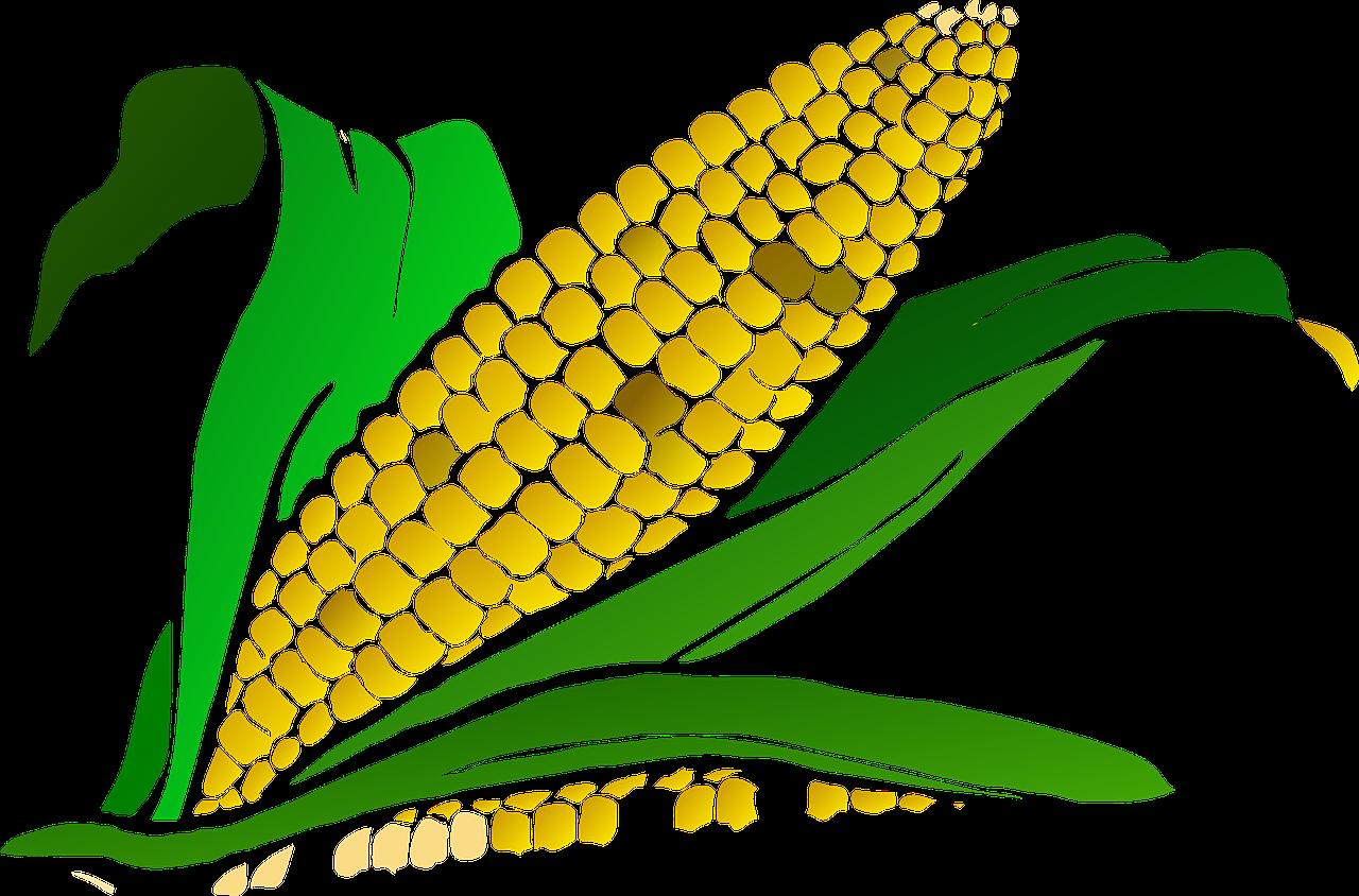 Corn food maize plant. Europe clipart content