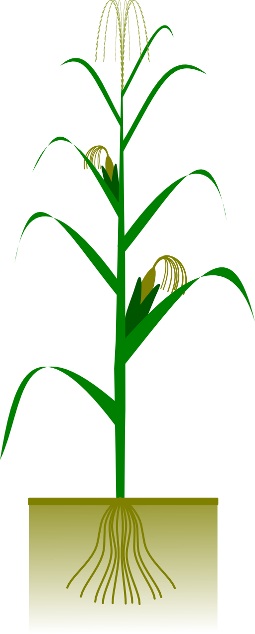 Maize i royalty free. Plant clipart terrestrial plant