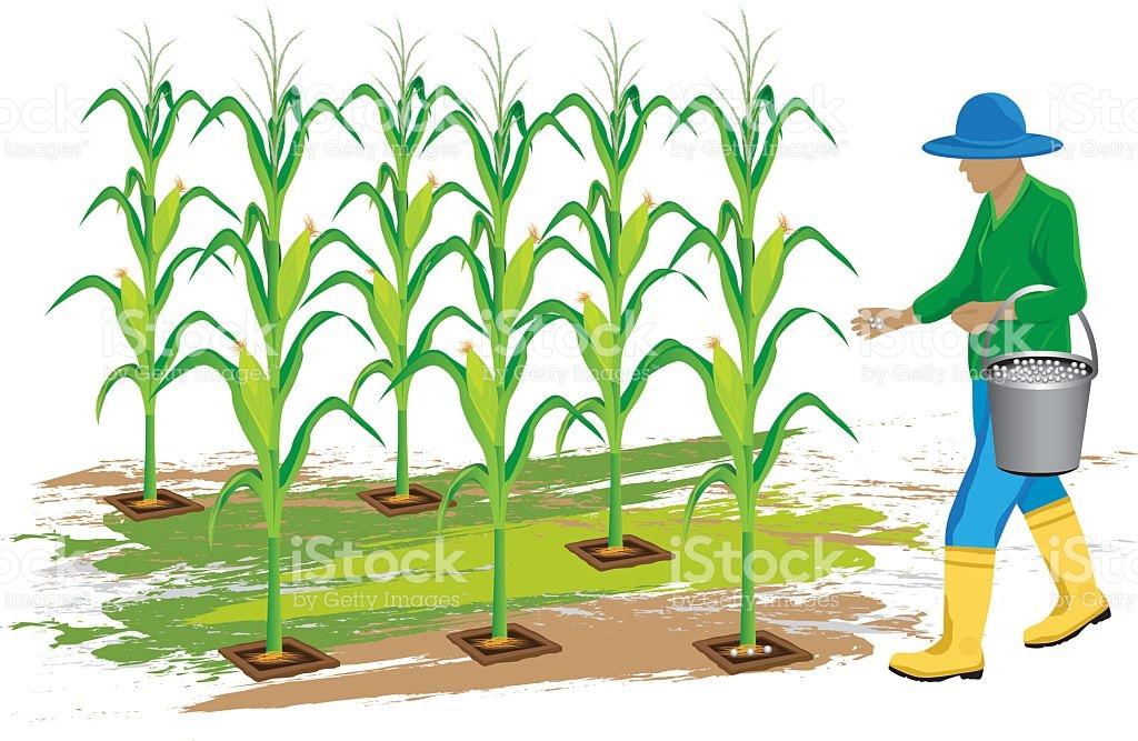 Drawing free download best. Corn clipart field corn