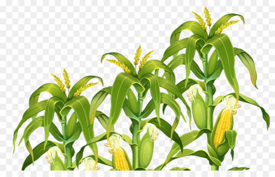 Corn clipart field corn. Candy