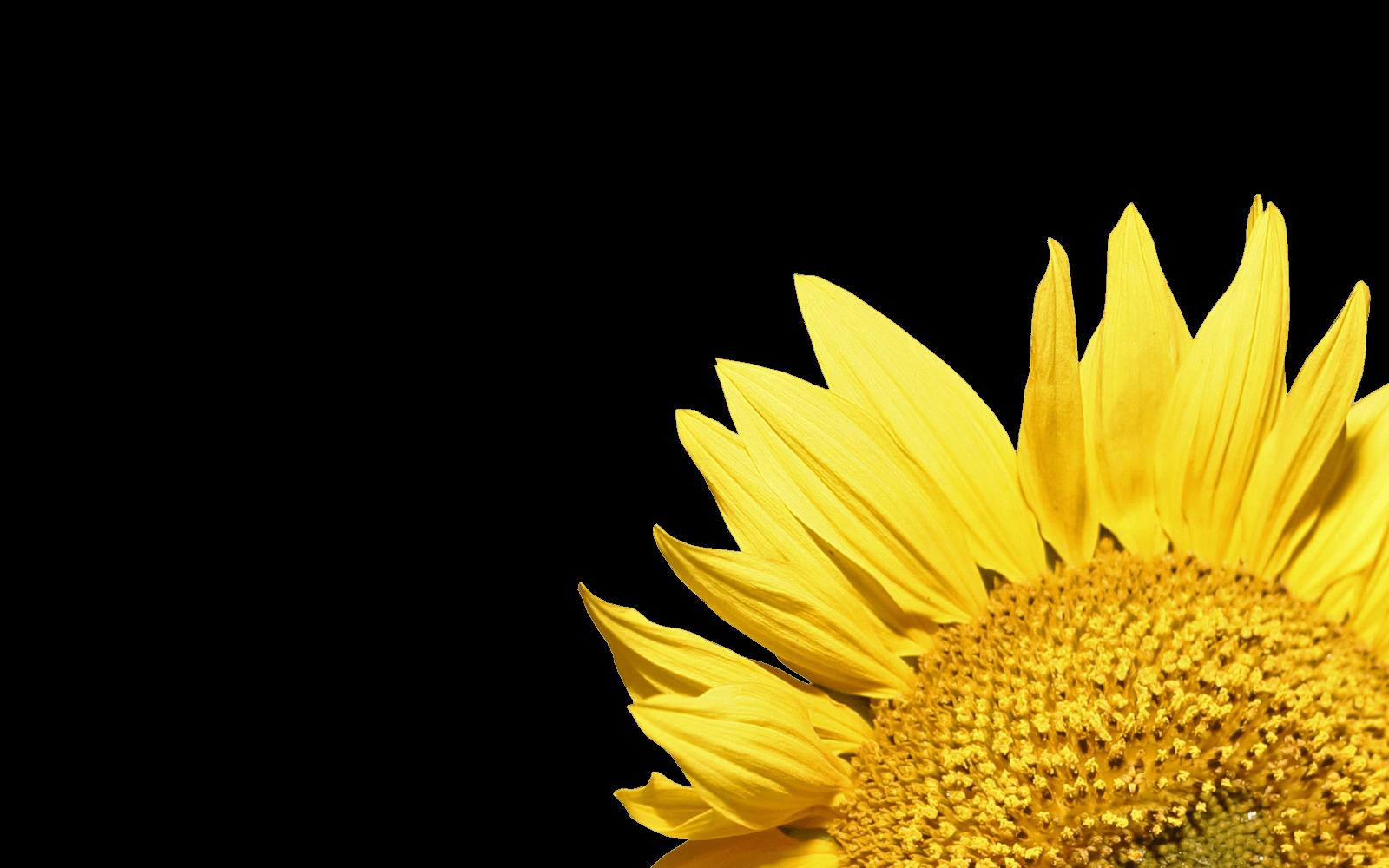 Daisies clipart corner. Sunflower transparent png stickpng