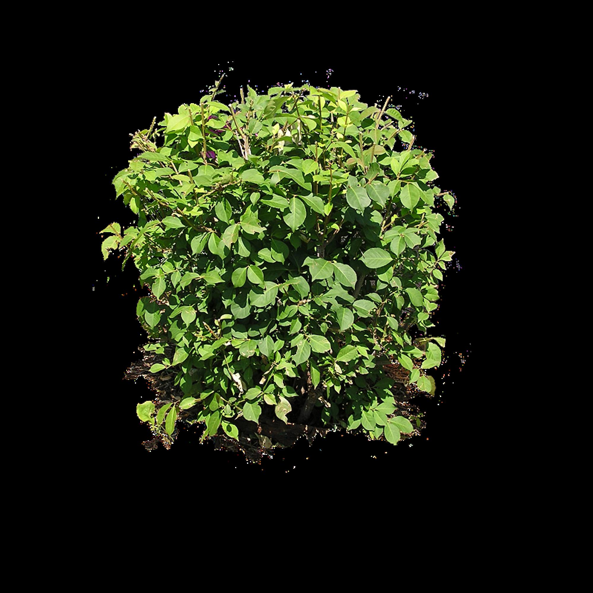 Bush png image pinterest. Plants clipart native plant