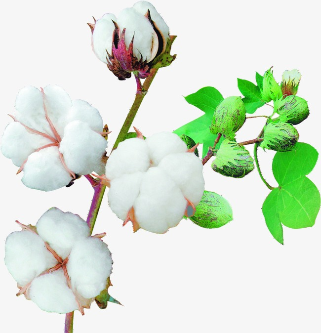 Cotton clipart. Crop spinning png image