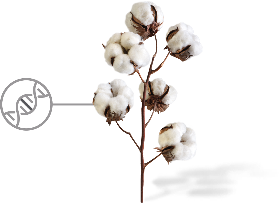 Plant drawing at getdrawings. Cotton clipart cotton crop