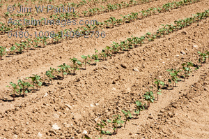 Cotton clipart cotton field. Seedlings in a stock