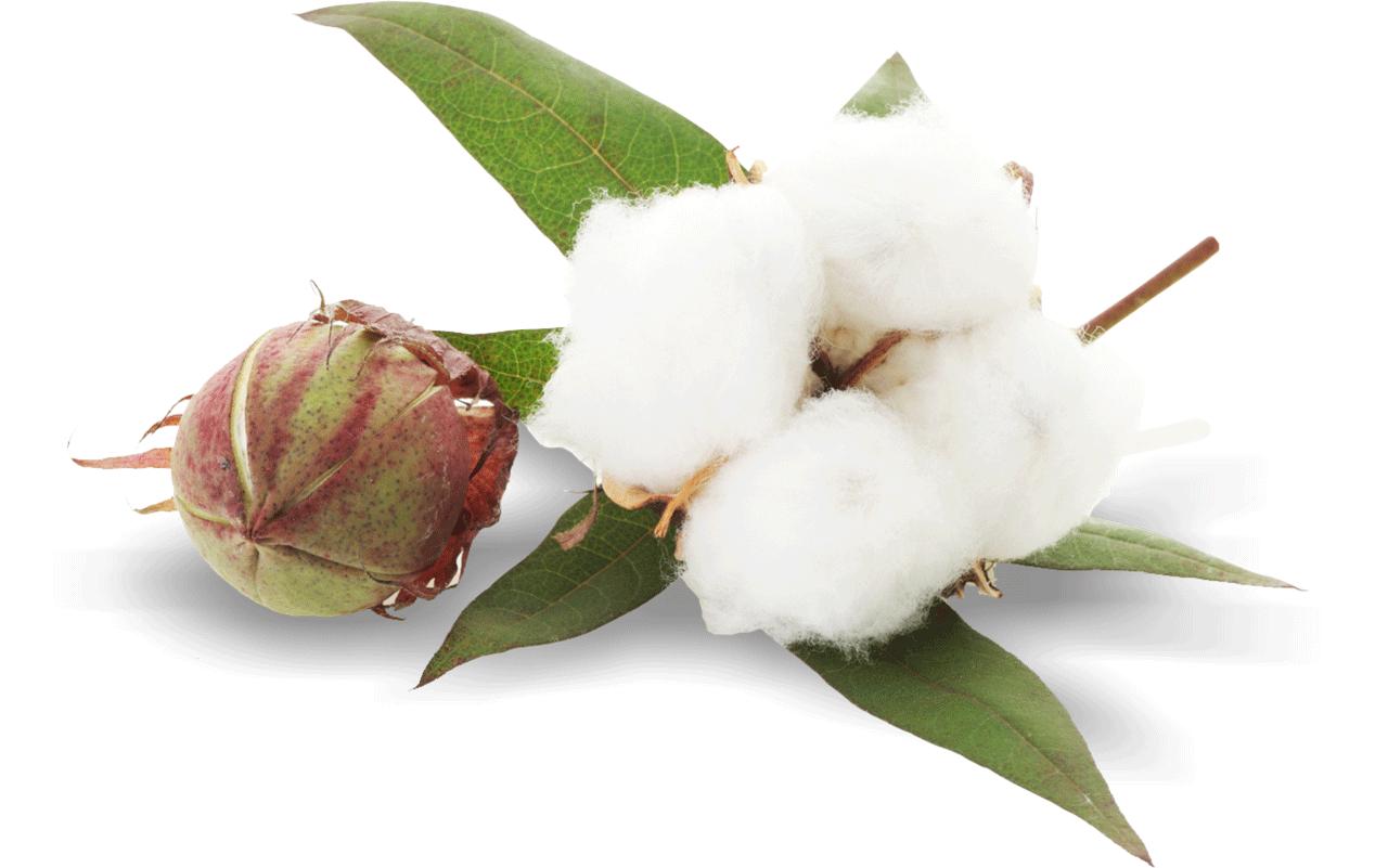 Plant png image purepng. Cotton clipart cotton flower