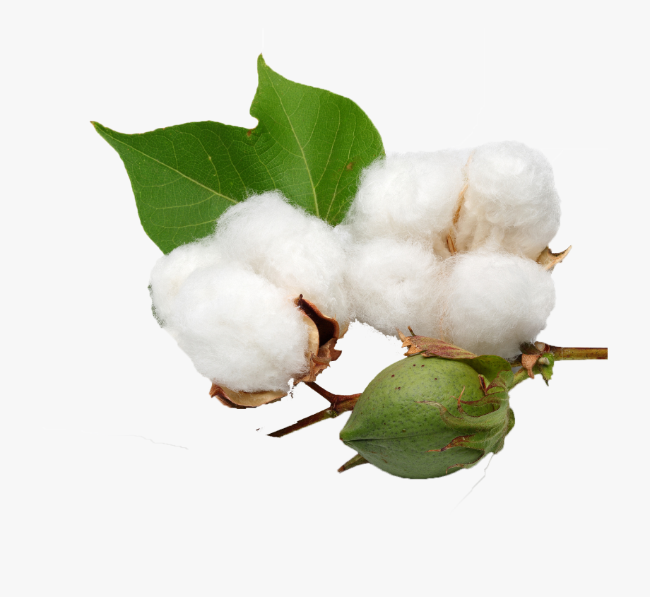 Cotton clipart cotton seed. Png background gossypium herbaceum