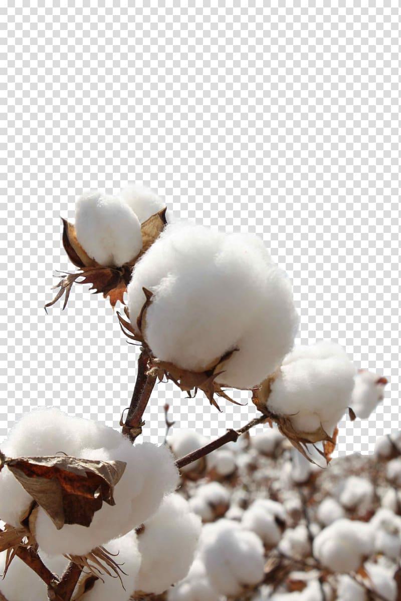 White sea island sateen. Cotton clipart cotton seed