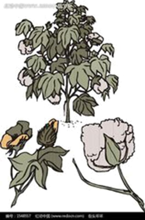 Cotton clipart cotton stem. Branch bombax ceiba tree
