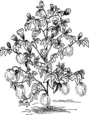 Free plant and vector. Cotton clipart cotton stem