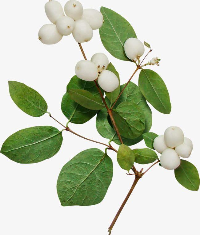 Plant png . Cotton clipart cotton tree
