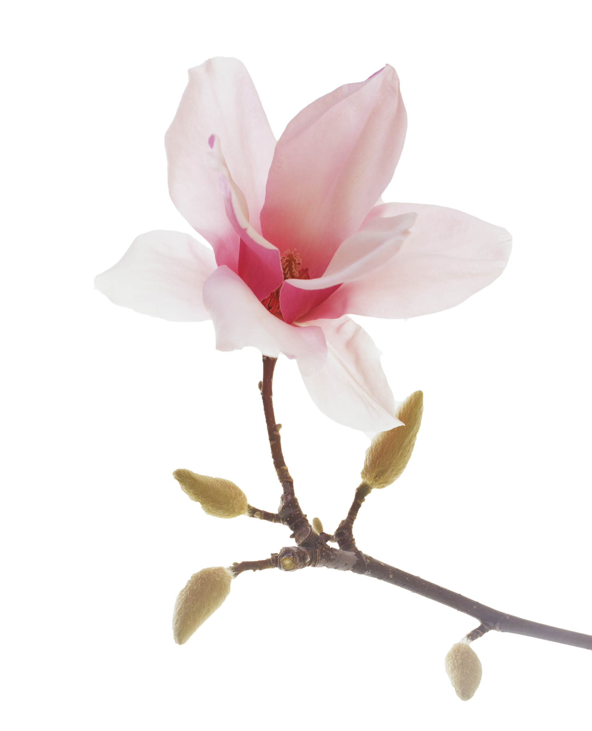 Lavender clipart magnolia.  spiritual pinterest and