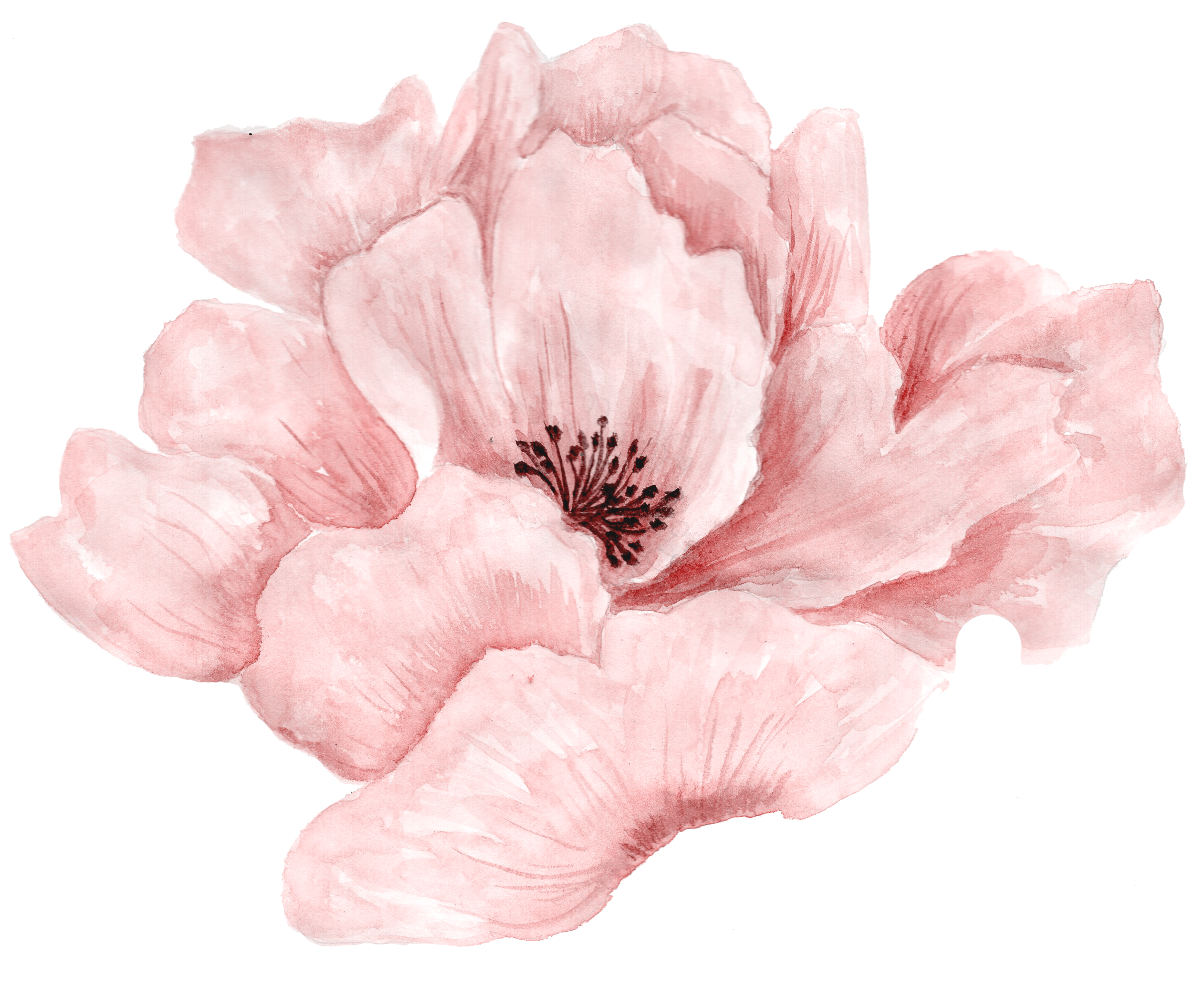 Poppy clipart watercolor.  watercolors pinterest