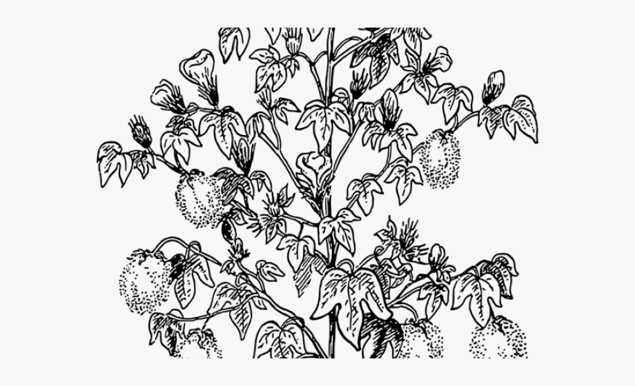 Plant drawing of . Cotton clipart outline