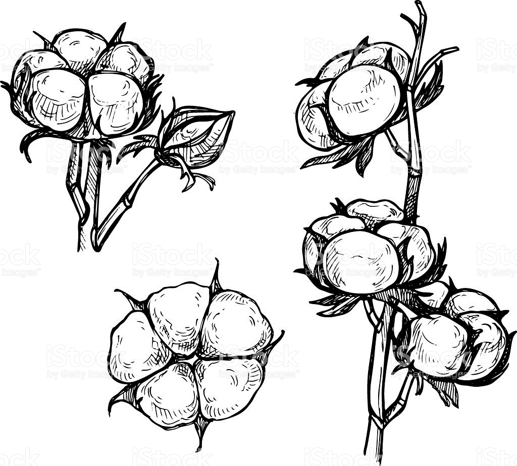 Plant at paintingvalley com. Cotton clipart sketch