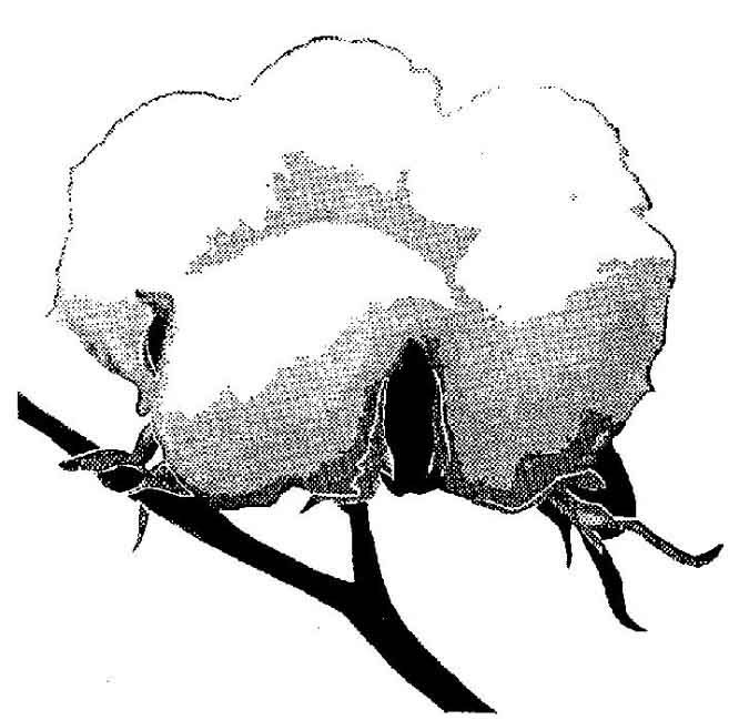 Cotton clipart sketch. Free plant drawing download