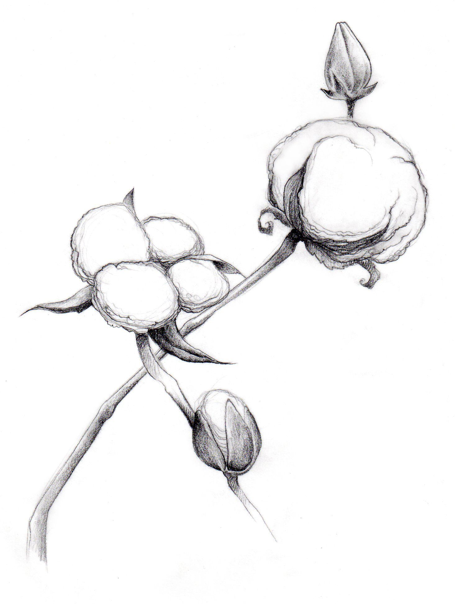 Cotton clipart sketch. Prickly plant drawings free